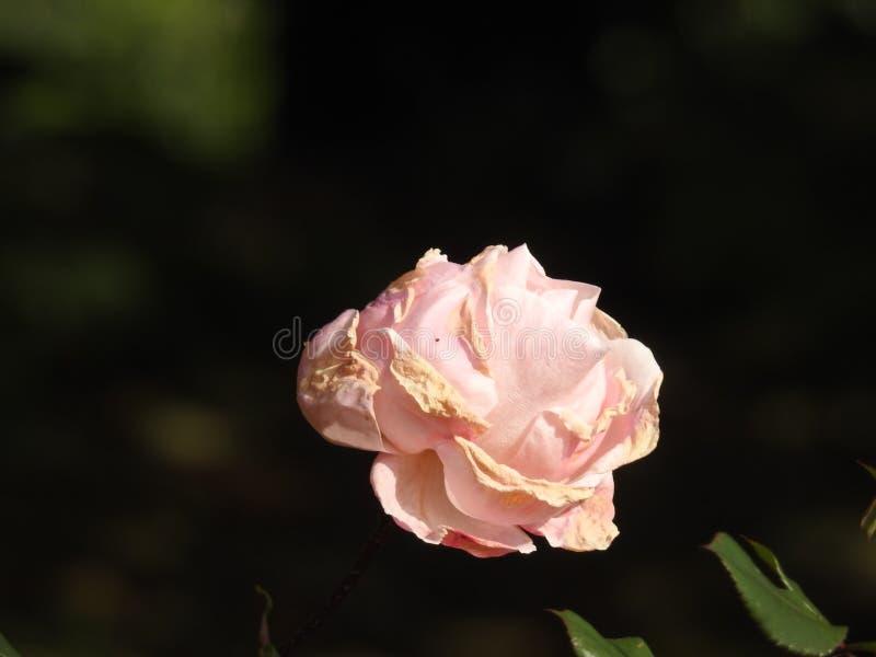 Download Les Roses En Dépit De Leurs épines Sont Des Fleurs Sensibles Qui Embaument L'environnement Photo stock - Image du exposition, rassemblement: 87705242
