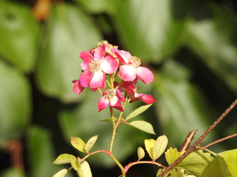 Download Les Roses En Dépit De Leurs épines Sont Des Fleurs Sensibles Qui Embaument L'environnement Photo stock - Image du jardinier, délicieux: 87705358