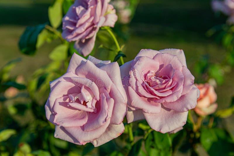 Les roses pourpres rosâtres fleurissent dans la roseraie parmi de beaux bourgeons roses dans le coucher du soleil photo libre de droits