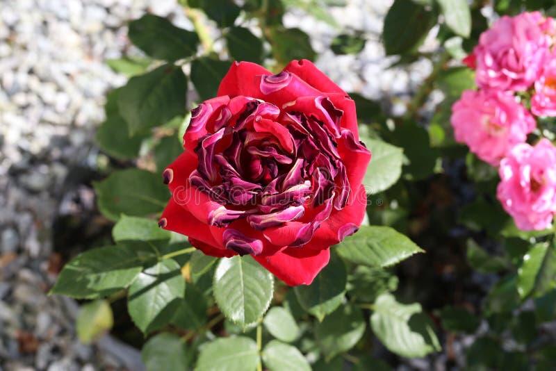 Les roses rouges ont desséché par le soleil et la chaleur photo stock
