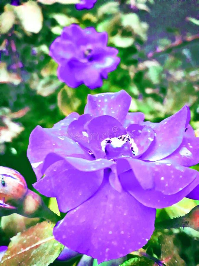 Les roses sont belles dans de belles couleurs blanches d'air photos libres de droits