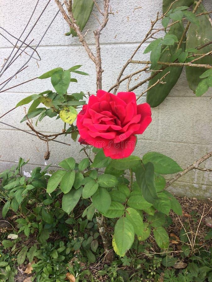 Les roses sont rouges image libre de droits