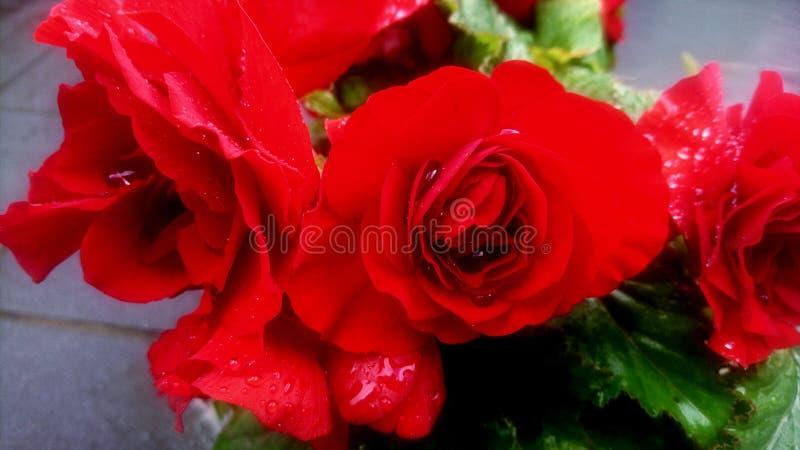 Les roses sont rouges photo libre de droits