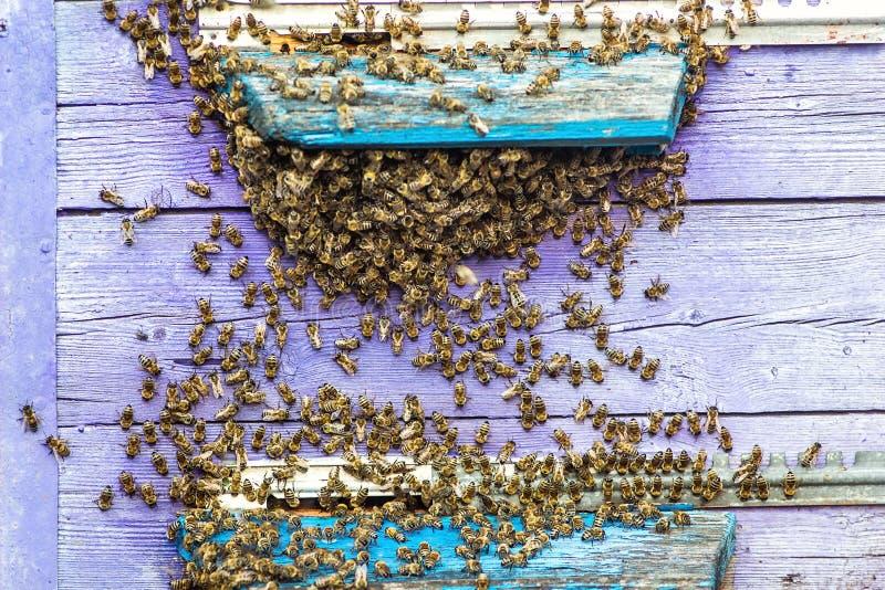 Les ruches dans un rucher avec des abeilles volant à l'atterrissage embarque dans un jardin vert Bourdon d'abeille de miel essaya image libre de droits
