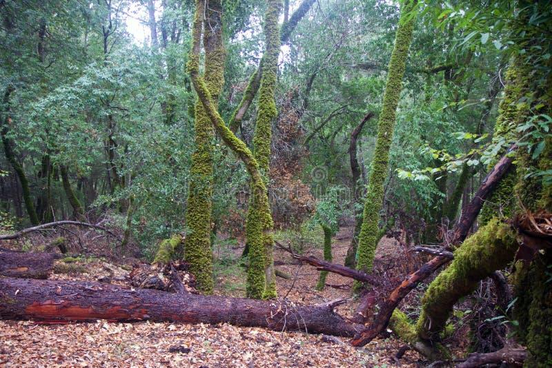 Les séquoias d'Armstrong énoncent la réservation naturelle, la Californie, Etats-Unis - pour préserver 805 acres 326 ha du séquoi photos libres de droits