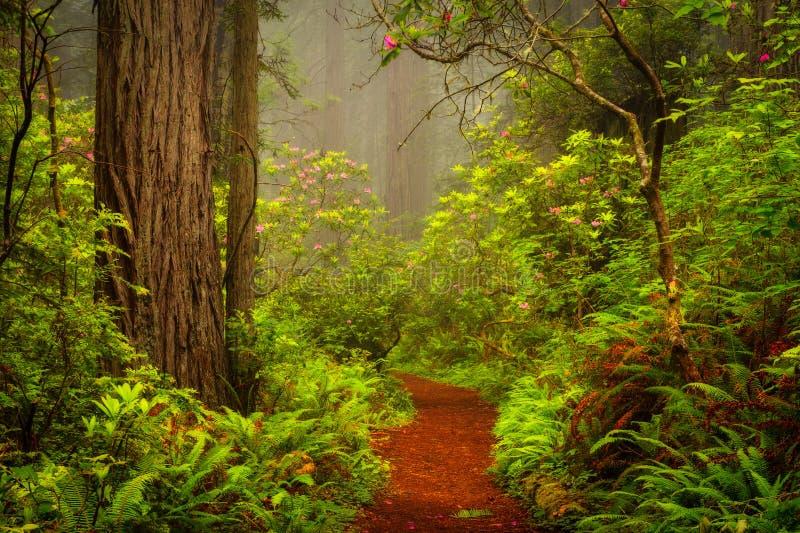 Les séquoias et les rhododendrons le long de la crique de malédiction traînent en DE images stock