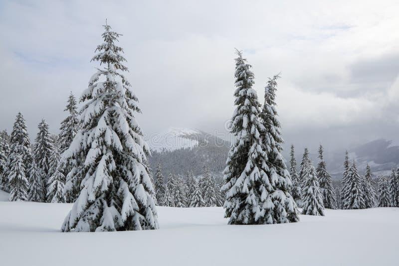 Les sapins pelucheux dans les congères couvertes de neige sur la pelouse Beau paysage le matin brumeux d'hiver froid photographie stock