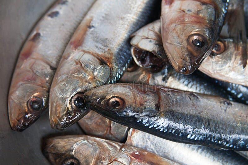 Les sardines fraîches se ferment avec l'espace de copie photo stock
