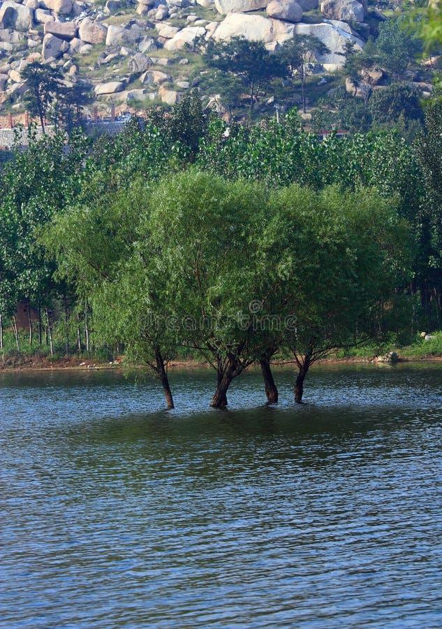 Les saules se développent dans le fleuve photos libres de droits