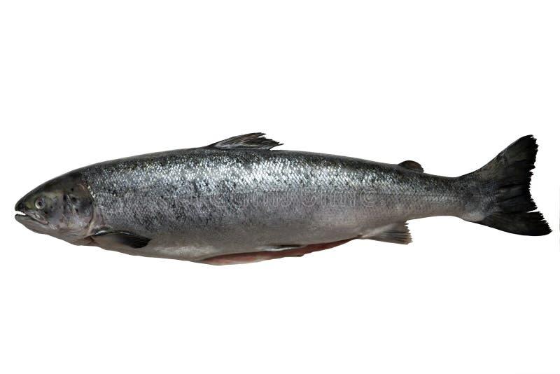 Les saumons frais ont isolé sur un fond blanc de studio photos stock