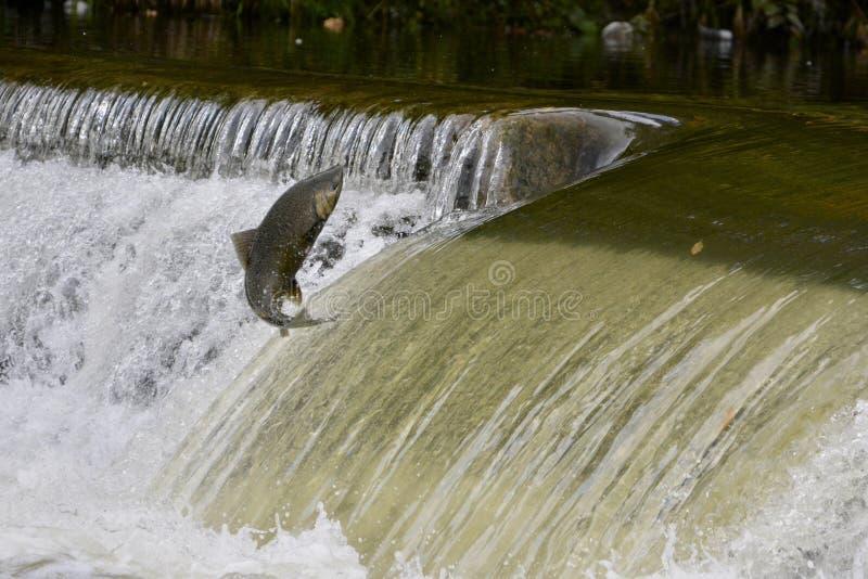 Les saumons sautant en amont sur un barrage de rivière photographie stock