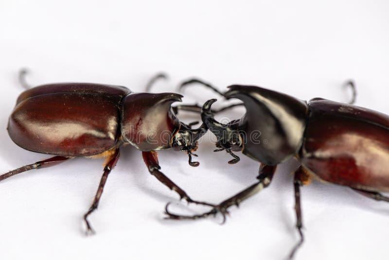 Les scarabées, insectes, insectes sont un groupe d'insectes forment le coléoptère d'ordre, échantillons animaux pour l'éducation photographie stock libre de droits