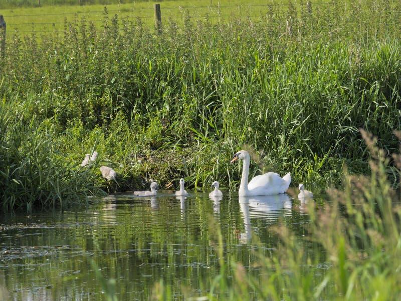 Les sceaux de bébé glissent dans la rivière photographie stock libre de droits