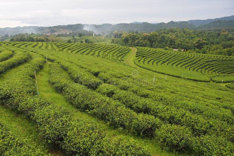 Les secteurs frais pour la culture de thé vert sont des rangées près des montagnes pour un fond naturel photos libres de droits