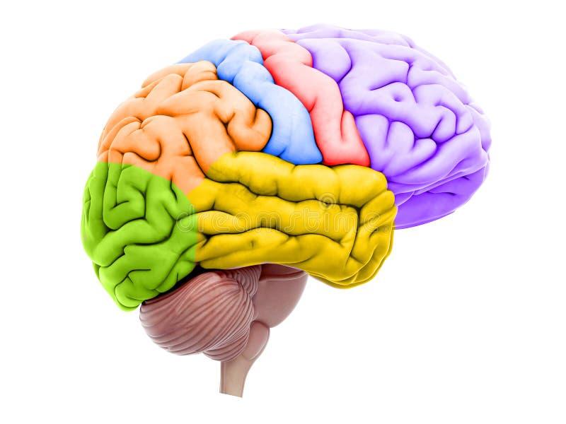 Les sections de cerveau illustration libre de droits