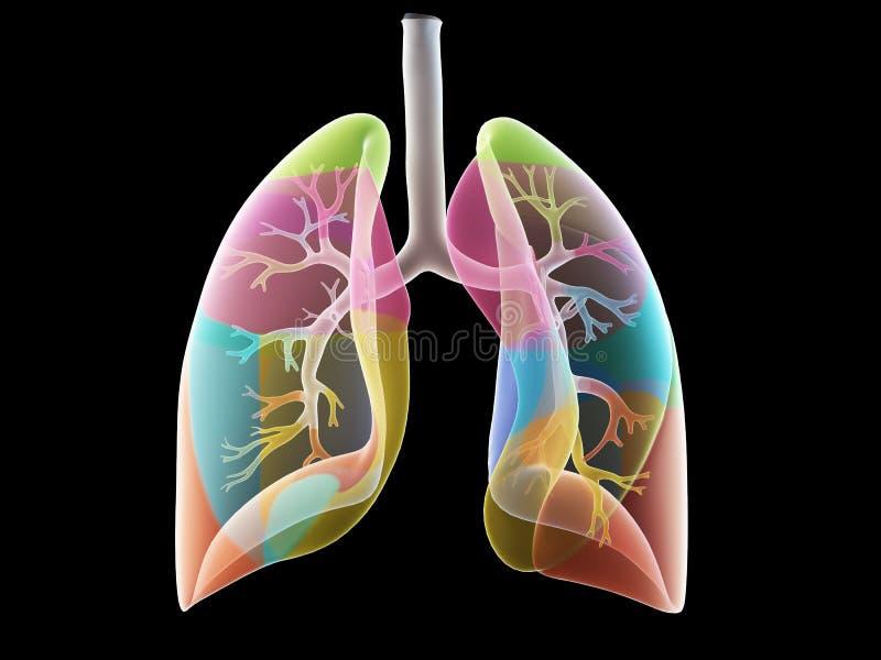Les segments de poumon illustration stock