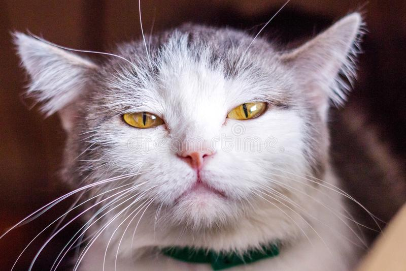 Les sifflements de chat, baillements, grimaces Chat de museau grand Portrait Vous pouvez voir les crocs, les dents Chat grand, gr photo libre de droits