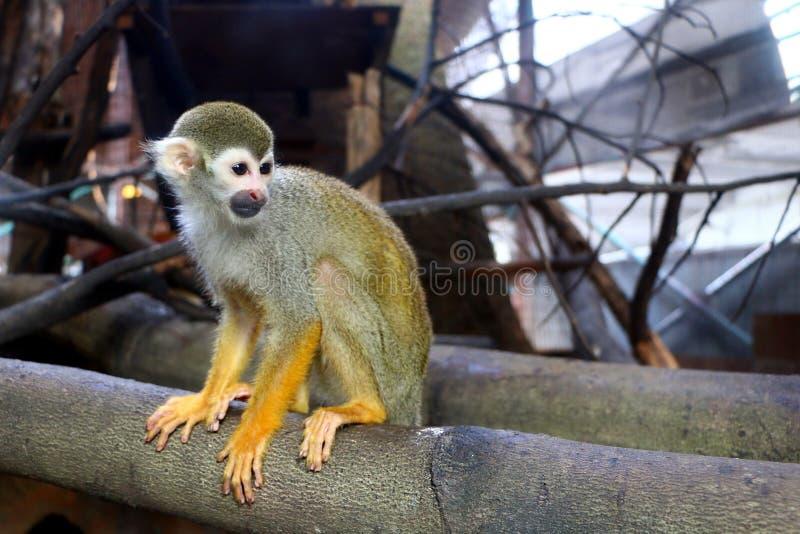 Les singes-écureuils sont des singes du nouveau monde du genre Saimiri images stock