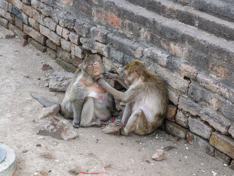 Les singes étaient prennent le soin dans Phra esquintent Sam Yod image stock