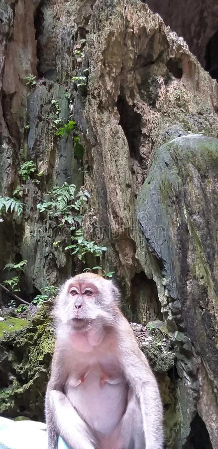 Les singes Batu foudroie la Malaisie image libre de droits