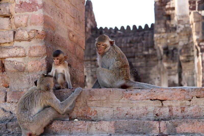 Les singes chez Phra esquintent Sam Yot trois saint esquinte dans la province de Lopburi, Thaïlande photos stock