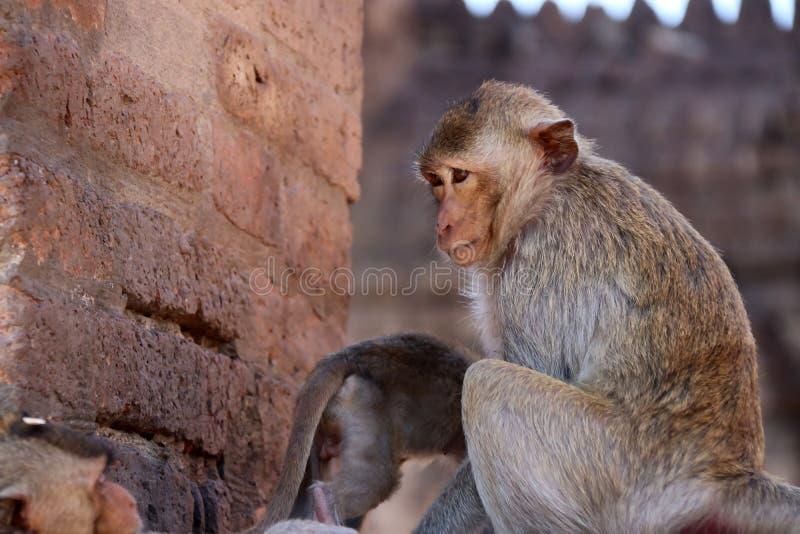 Les singes chez Phra esquintent Sam Yot trois saint esquinte dans la province de Lopburi, Thaïlande photographie stock libre de droits