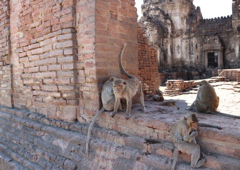 Les singes chez Phra esquintent Sam Yot trois saint esquinte dans la province de Lopburi, Thaïlande photo stock