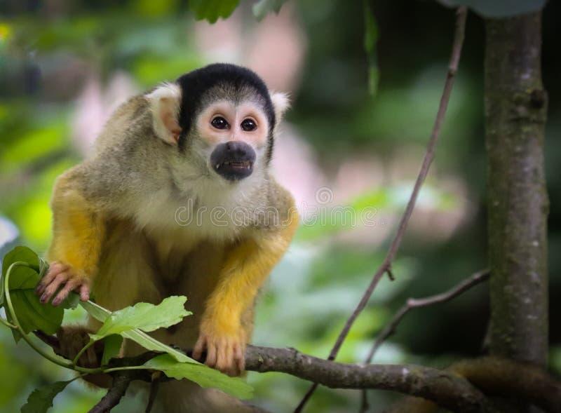 Les singes-?cureuils sont des singes du nouveau monde du genre Saimiri photographie stock