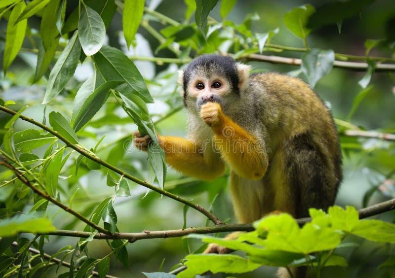 Les singes-?cureuils sont des singes du nouveau monde du genre Saimiri images stock