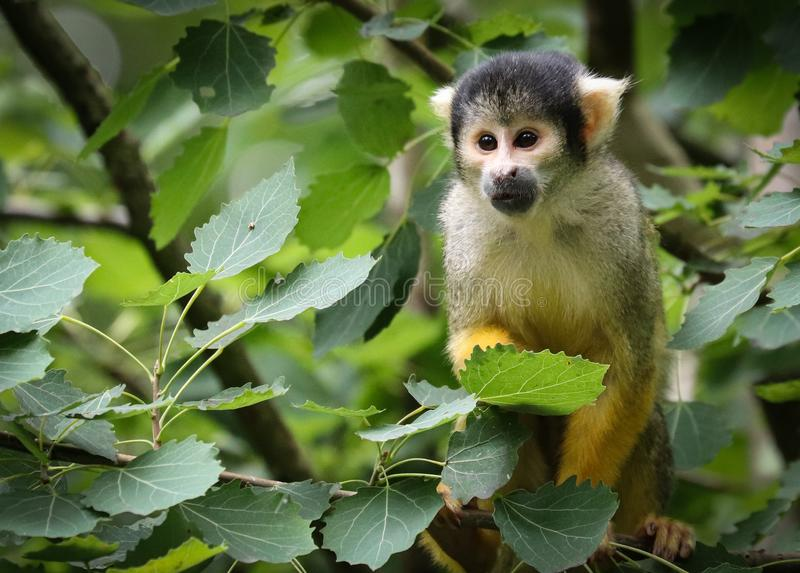 Les singes-?cureuils sont des singes du nouveau monde du genre Saimiri photographie stock libre de droits