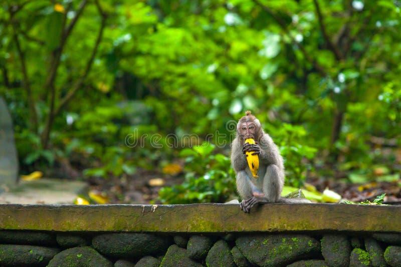 Les singes mignons vit dans la forêt de singe d'Ubud, Bali, Indonésie photo libre de droits