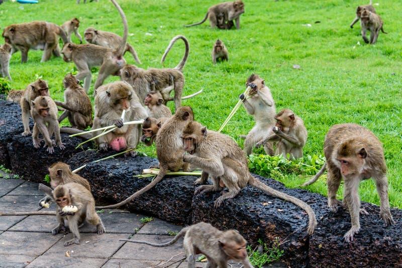 Les singes ont obtenu la canne à sucre, Lopburi Thaïlande photos stock