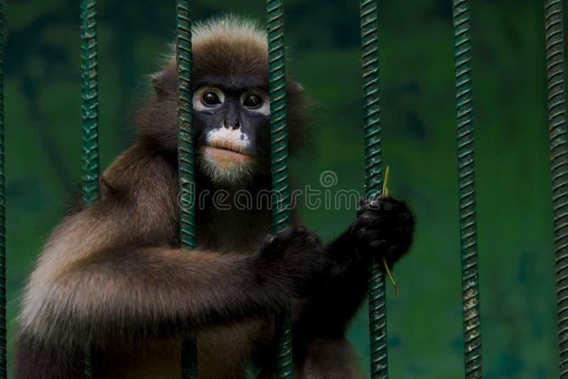 Les singes sont emprisonnés dans une cage en acier et montrent la cruauté de l'humanité images libres de droits