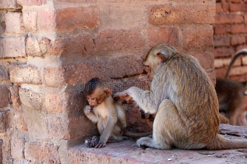 Les singes vérifiant des puces et les coutils au site archéologique, Phra esquintent Sam Yot trois saint esquinte photographie stock