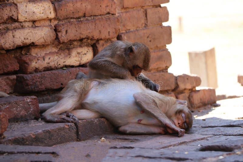 Les singes vérifiant des puces et les coutils au site archéologique, Phra esquintent Sam Yot trois saint esquinte dans la provinc photographie stock