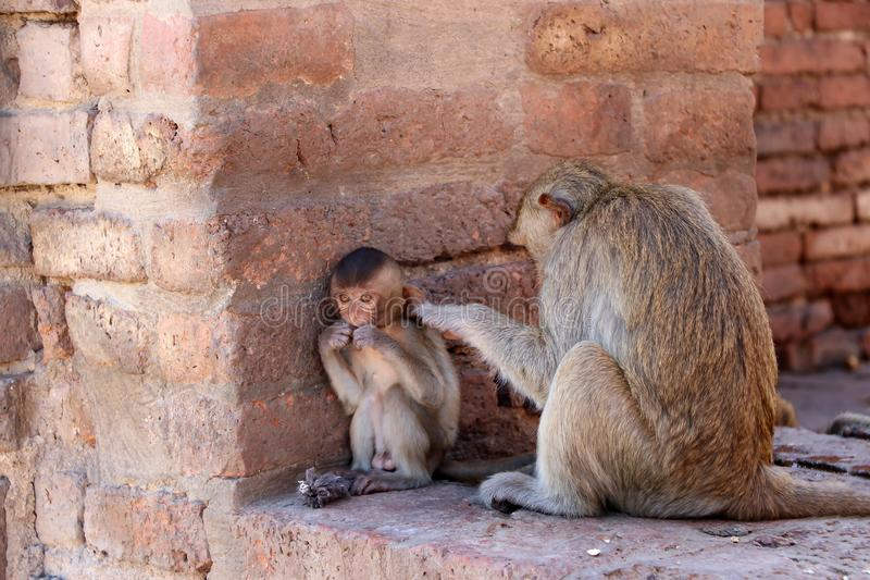Les singes vérifiant des puces et les coutils au site archéologique, Phra esquintent Sam Yot trois saint esquinte dans la provinc photographie stock libre de droits