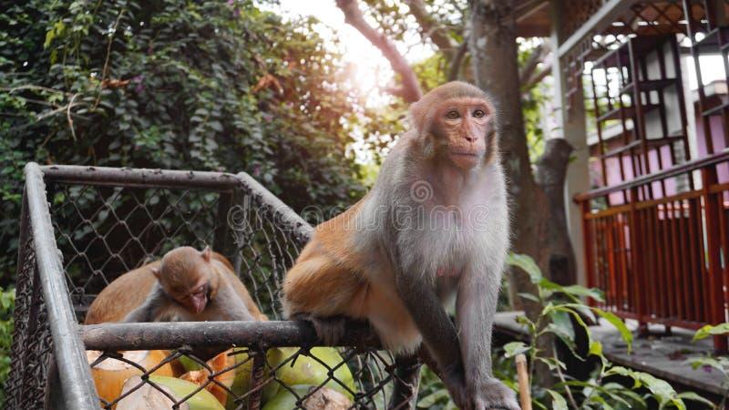 Les singes volent des fruits de nourriture des chariots en métal photos stock