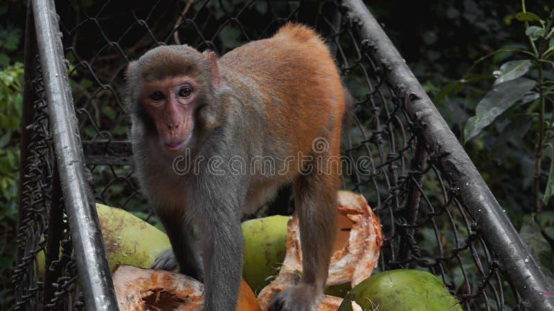 Les singes volent des fruits de nourriture des chariots en m?tal photos stock