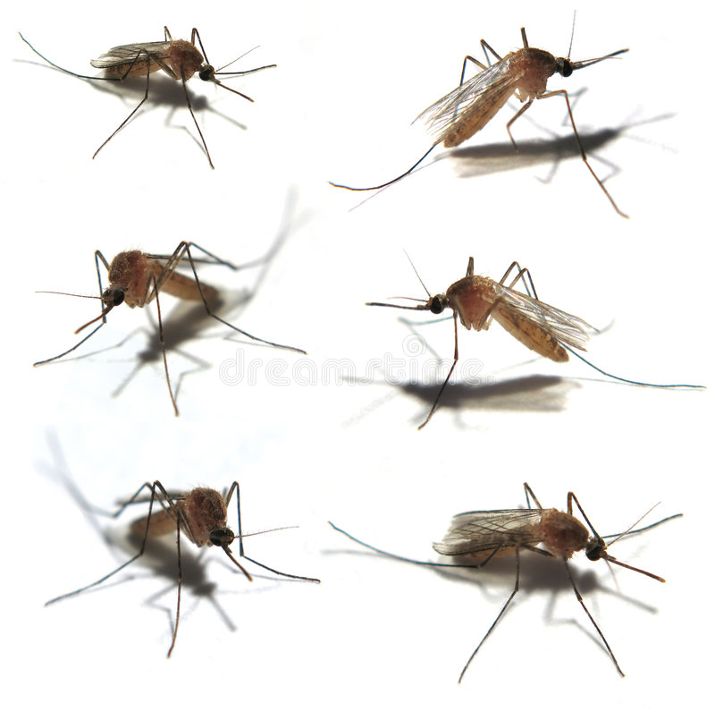 Les six moustiques images libres de droits