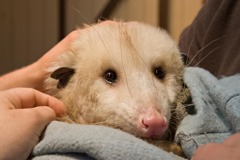 Les soins des animaux sauvés d'opossum images stock