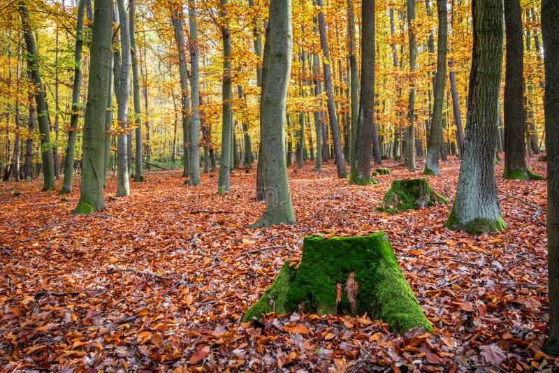 Les souches de Mossy dans la forêt colorée de feuillus d'automne image stock