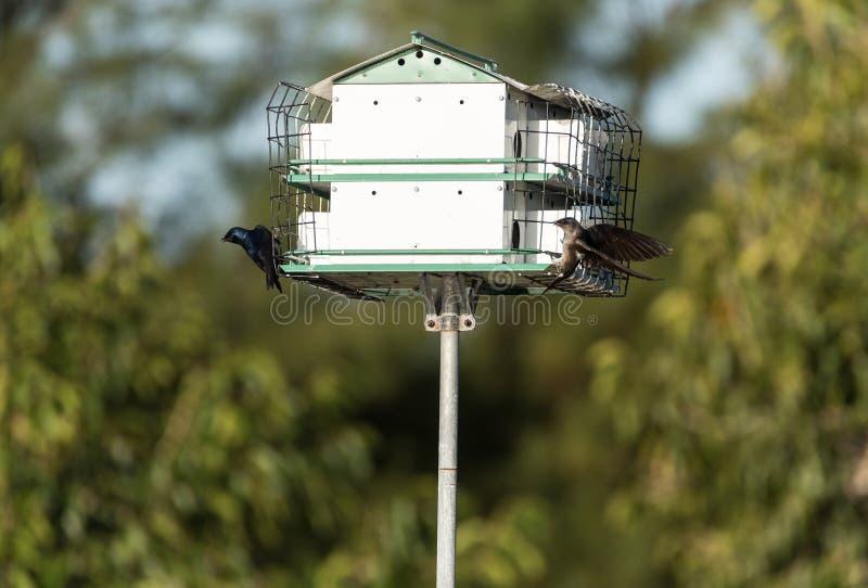 Les subis de Progne d'oiseaux de Martin pourpre volent et sont perché sur une maison au-dessus d'un étang images stock