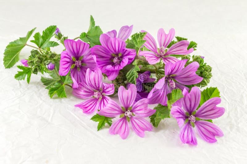 Les sylvestris de Malva, mauve, fleurit le bouquet sur le blanc photos libres de droits