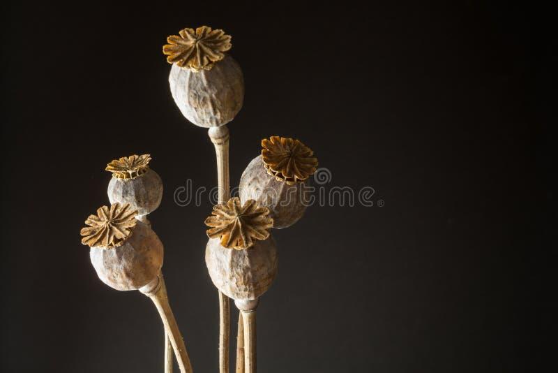 Les têtes du pavot à opium Papaver somniferum sur un fond noir, graine se dirige image stock