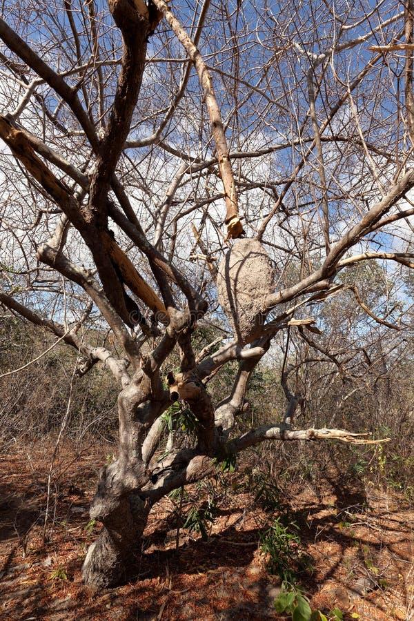 Les termites et la fourmi niche dans le Caatinga du Brésil photos stock