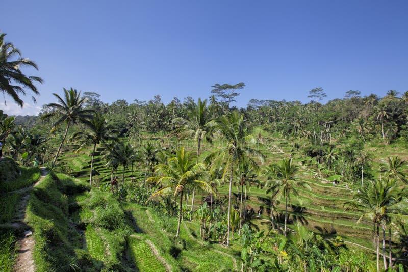 Les terrasses de riz de Tegallalang dans Ubud est célèbre pour son beau Sc image stock