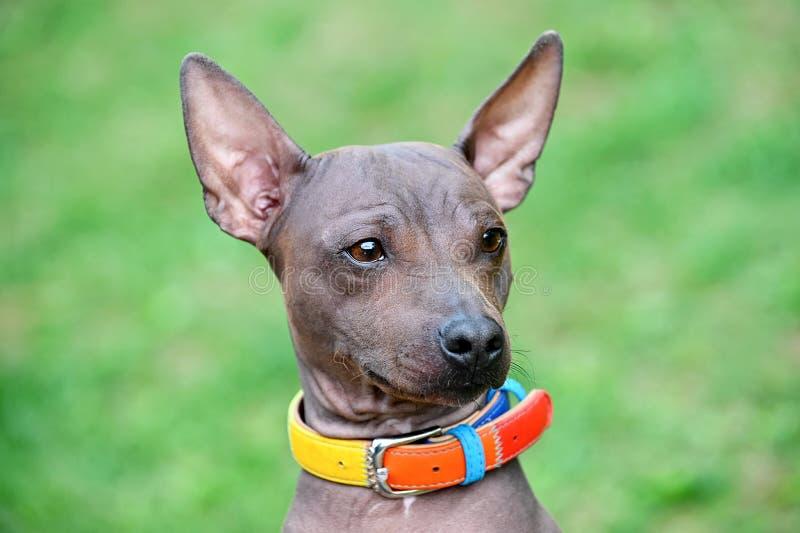Les terriers chauves américains poursuivent le portrait en gros plan avec le collier coloré photos stock
