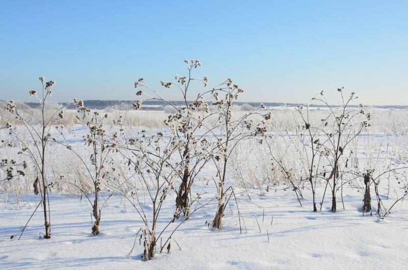 Les tiges de la bardane de bardane pendant l'hiver images libres de droits
