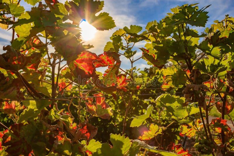 Les tirs de détail de la vigne automnale part dans la lumière du soleil photo libre de droits