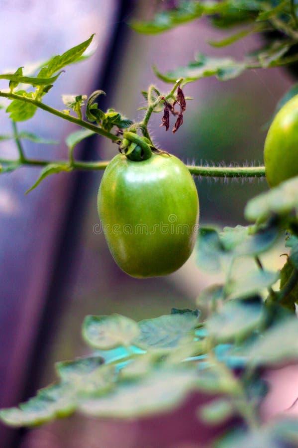 Les tomates de mon jardin 2 photo libre de droits